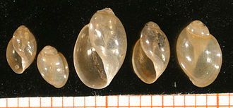 Physa - Five shells of Physa fontinalis