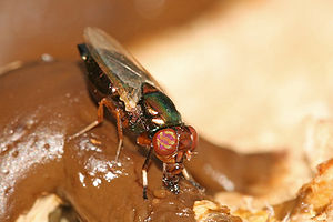 Coprophagia - A female picture-winged fly  feeding on feces