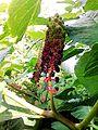 Phytolacca-acinosa.jpg