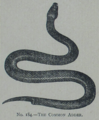 Picture Natural History - No 184 - The Common Adder.png