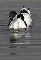 Pied Avocet, Recurvirostra avosetta at Marievale Nature Reserve, Gauteng, South Africa (20846366978).jpg