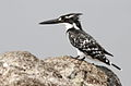 Pied Kingfisher, Ceryle rudis at Borakalalo National Park, South Africa (9822769003).jpg