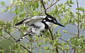 Pied Kingfisher, Ceryle rudis at Pilanesberg National Park, South Africa (15803695150).jpg