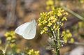 Pieris ergane - Dağ küçük beyazmeleği 03.jpg