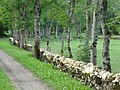 Pikavere küla kiviaiad ja kased.jpg