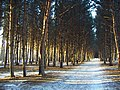 Pine-trees forest plantation - panoramio.jpg