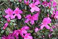 Pink azaleas, Drexel Park.JPG