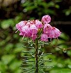 Pink mountain-heather in Clearwater Wilderness, WA (DSC 0663).jpg