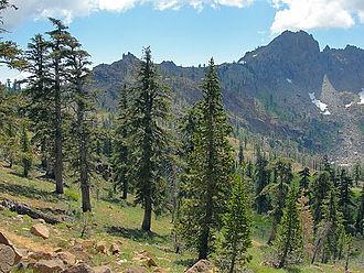 Klamath Mountains - Image: Pinus balfouriana Trinity Alps