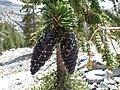 Pinus balfouriana austrina 1.jpg