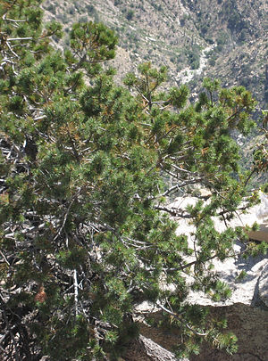 Pinus discolor Mount Lemmon.jpg