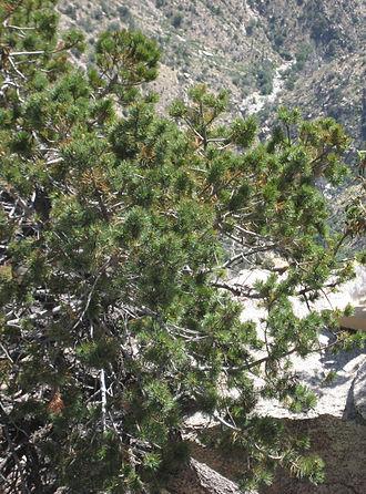 Pinus johannis - Image: Pinus discolor Mount Lemmon