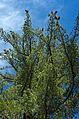 Pinus lambertiana, Kings Canyon NP.jpg