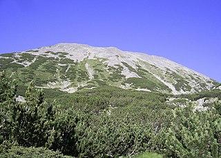 Borovica horská (kosodrevinová)