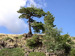 Pinus negra on Etna 2.jpg