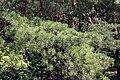 Pinus rigida foliage Nieporęt.JPG