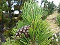 Pinus uncinata (15265289247).jpg
