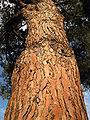 Pinuspinea.jpg