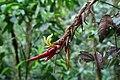 Pitcairnia arcuata (Bromeliaceae) (31066143327).jpg