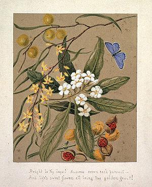 Pittosporum undulatum - Image: Pittosporum