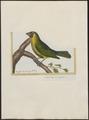 Pitylus viridis - 1700-1880 - Print - Iconographia Zoologica - Special Collections University of Amsterdam - UBA01 IZ15900405.tif