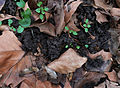 PlantLitterEarthwormsPlatanusLeaves4.jpg