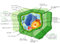 Plant cell structure-kn.png