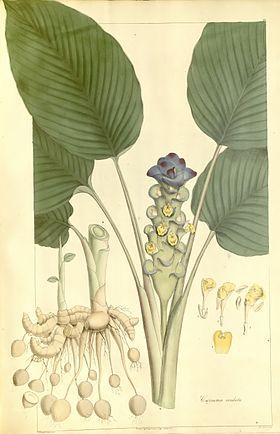 Plantae Asiaticae Rariores - plate 010 - Curcuma cordata.jpg