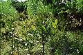 Plantedguanandis3.JPG