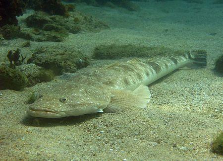Die Krokodilfische 450px-Platycephalus_fuscus_1