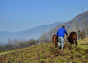 Aragam - A farmer in Aragam ploughs his land by traditional plough driven by oxen.