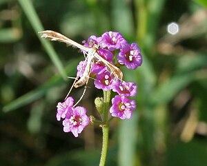 Glossata - Plume moth from family Pterophoridae on Boerhavia diffusa in Hyderabad, India.