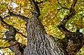 Poertschach Landspitz Eiche im Herbstkleid 11102013 562.jpg