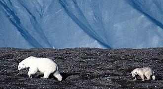 The Blue Planet - Polar bear