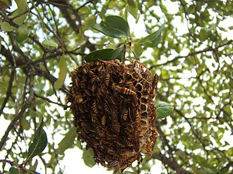 Vespidae - Image: Polistes nest 2 sjh