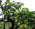 Polyscias oahuensis (4797710461).jpg