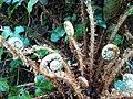 Polystichum setiferum 49847855.jpg
