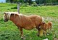 Pony und Ponyfohlen, Maltaberg Alm, Hohe Tauern, Österreich.jpg