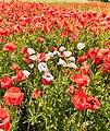Poppy Field Schoenberg msu 2018 -7370.jpg