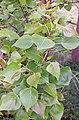 Populus nigra. Chopu (fueyes).jpg