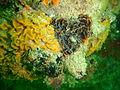 Pore plated false coral at Lorry Bay PB012029.JPG