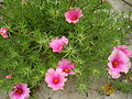 Portulaca double color.JPG