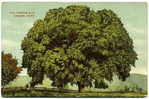 Canaan, Connecticut - Image: Postcard Canaan Ct Famous Elm 19081914