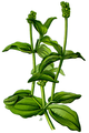 Potamogeton perfoliatus Thomé-034.png