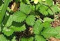 Potentilla indica (leaf s2).jpg