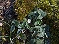Potentilla micrantha near Vrachesh, Bulgaria 03.jpg