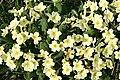 Primrose (Primula vulgaris) - geograph.org.uk - 395420.jpg