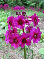 Primula japonica2.jpg