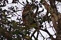 Proboscis Monkey (Nasalis larvatus) (7113323191).jpg