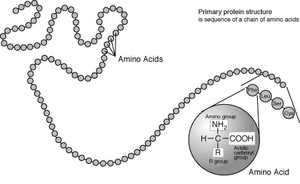 A protein depicted as a long unbranched string of linked circles each representing amino acids. One circle is magnified, to show the general structure of an amino acid. This is a simplified model of the repeating structure of protein, illustrating how amino acids are joined together in these molecules.